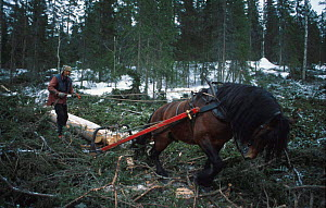 Horse dragging timber from woodland. Norway  -  Asgeir Helgestad