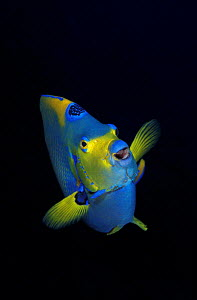 Queen angelfish portrait {Holacanthus ciliaris} Bonaire, Caribbean Sea - NOT FOR SALE IN USA  -  Brandon Cole