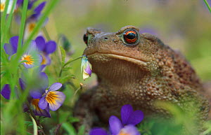 Common European toad portrait with flowers {Bufo bufo} Norway  -  Asgeir Helgestad