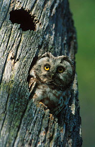 Tengmalm's owl {Aegolius funereus} looking out of hole in tree, Finland  -  Asgeir Helgestad