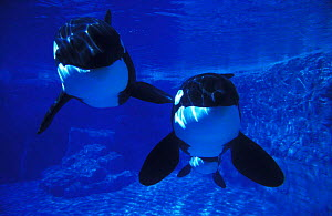 Two Killer whales in captivity {Orcinus orca} Florida Not available for ringtone/wallpaper use.  -  Brandon Cole