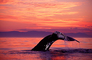 Humpback whale diving at sunset {Megaptera novaeangliae} Frederick Sound Southeast Alaska NOT FOR SALE IN THE USA. - Brandon Cole