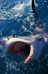 Great white shark at surface with open mouth {Carcharodon carcharias} South Africa. NOT FOR SALE IN USA  -  Brandon Cole