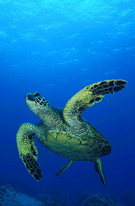 Green turtle underwater {Chelonia mydas} Hawaii, Pacific Ocean NOT FOR SALE IN USA  -  Brandon Cole