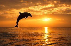 Bottlenose dolphin leaping above surface at sunset {Tursiops truncatus} Honduras Caribbean, trained animal NOT FOR SALE IN US  -  Brandon Cole