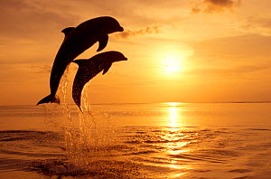Bottlenose dolphins leaping above surface at sunset {Tursiops truncatus} Honduras Caribbean - trained animals. NOT FOR SALE IN USA  -  Brandon Cole