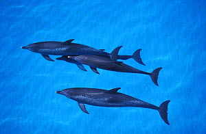 Atlantic spotted dolphins swimming at surface {Stenella frontalis} Bahamas, Atlantic. NOT FOR SALE IN US  -  Brandon Cole