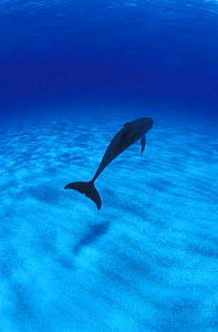 Atlantic spotted dolphin swimming away {Stenella frontalis} Bahamas, Atlantic NOT FOR SALE IN US  -  Brandon Cole
