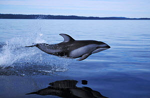 Pacific white sided dolphin jumping at surface {Lagenorhynchus obliquidens} Vancouver Island BC Canada North America NOT FOR SALE IN US  -  Brandon Cole