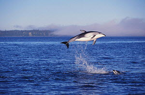 Pacific white sided dolphins jumping at surface {Lagenorhynchus obliquidens} Vancouver Island BC Canada North America NOT FOR SALE IN USA  -  Brandon Cole