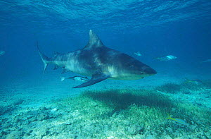 Bull shark patrolling underwater {Carcharhinus leucas} Bahamas Atlantic Ocean NOT FOR SALE IN US  -  Brandon Cole