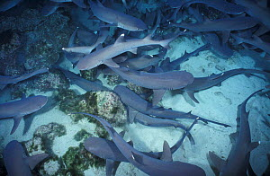 Whitetip reef sharks hunting at night {Triaenodon obesus} Cocos Island Costa Rica NOT FOR SALE IN US - Brandon Cole