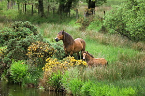 Exmoor pony with foal {Equus caballus} Exmoor National Park, Devon, UK  -  Mike Wilkes