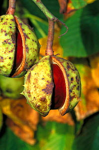 Horse chestnut conkers ready to fall from tree {Aesculus hippocastanum} UK  -  WILLIAM OSBORN