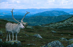 Old Reindeer bull resting in windy place to avoid biting insects {Rangifer tarandus} summer. Buskerud, Norefjell, Norway  -  Asgeir Helgestad