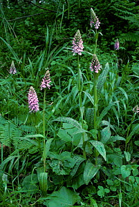 RF- Common spotted orchids (Dactylorhiza fuchsii). Surrey, UK. (This image may be licensed either as rights managed or royalty free.) - George McCarthy