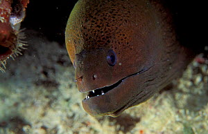 Giant moray eel {Gymnothorax javanicus} Milne Bay, Papua New Guinea  -  Brent Hedges
