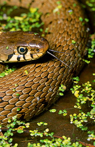 RF- Grass snake (Natrix natrix), UK. (This image may be licensed either as rights managed or royalty free.) - George McCarthy