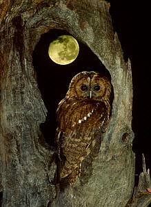 RF- Tawny owl with moon behind (Strix aluco), UK. (This image may be licensed either as rights managed or royalty free.) - George McCarthy