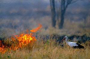 White stork hunts for insects escaping from savanna fire {Ciconia ciconia} Serengeti NP, Tanzania, East Africa  -  Anup Shah