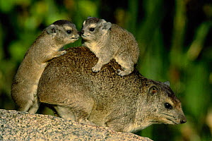 Rock hyrax with young climbing on back {Procavia capensis} Serengeti NP, Tanzania, East Africa  -  Anup Shah