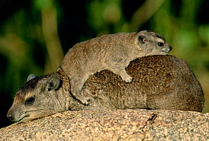 Rock hyrax with young on back {Procavia capensis} Serengeti NP, Tanzania, East Africa  -  Anup Shah