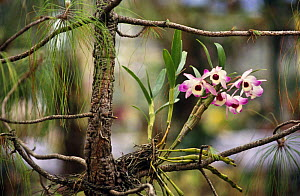 Dendrobium orchid in wild tropical rainforest, Assam, North East India  -  Vivek Menon