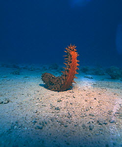 Sea cucumber spawning {Thelenota} sp. Red Sea - PETER SCOONES