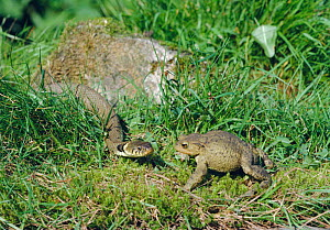 Grass snake {Natrix natrix} threatening Common toad {Bufo bufo} puffed up in defence, UK  -  George McCarthy