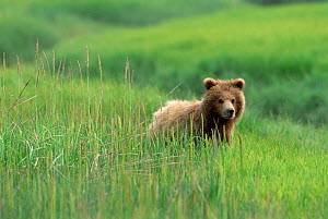 Grizzly bear in long grass {Ursus arctos horribilis} Silver Salmon Creek USA. - David Pike