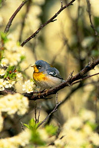 Northern parula warbler amongst blossom {Parula americana} Long Is, New York, USA  -  Tom Vezo