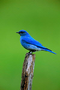Mountain bluebird male {Sialia currucoides} Montana, USA  -  Tom Vezo