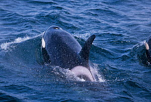 Killer whale surfacing showing dorsal fin, eyepatch and blowhole {Orcinus orca} Iceland  -  TOM WALMSLEY
