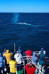 People watching Blue whale blowing at surface {Balaenoptera musculus} Olafsvik, Iceland  -  TOM WALMSLEY