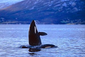 Killer whale  spy hopping with calf nearby {Orcinus orca} Tysfjord, Norway. winter  -  TOM WALMSLEY
