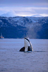 Killer whale (Orca) spy hopping {Orcinus orca} Tysfjord, Norway. winter  -  TOM WALMSLEY