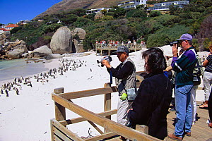 Black footed (Jackass) penguin colony viewed by tourists {Spheniscus demersus} Simonstown, South Africa  -  TOM WALMSLEY