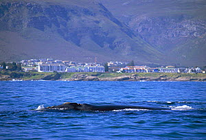Southern right whale at surface {Balaena glacialis australis} in front of Windsor hotel, Hermanus, South Africa  -  TOM WALMSLEY