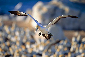 Cape gannet flying over colony to locate nest {Morus capensis} Bird island, Lamberts bay, South Africa  -  TOM WALMSLEY