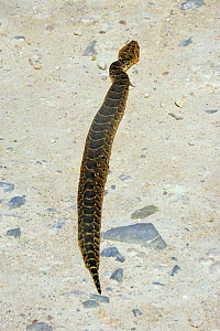 Puff adder {Bitis arietans} basking in sun on road. De Hoope NR, South Africa  -  TOM WALMSLEY