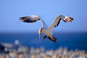Cape gannet landing {Morus capensis} at nest colony on Bird island, Lamberts bay, South Africa  -  TOM WALMSLEY
