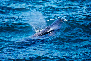 Sei whale blowing {Balaenoptera borealis} Iceland  -  TOM WALMSLEY