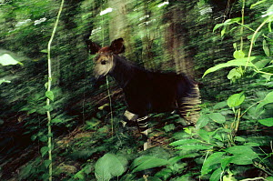 Okapi {Okapi johnstoni} walking through Ituri forest reserve, Dem Rep of Congo  -  Jabruson