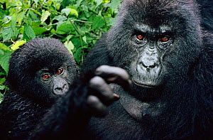 Mountain gorilla mother and baby {Gorilla beringei} Virunga NP, Dem Rep of Congo  -  Jabruson