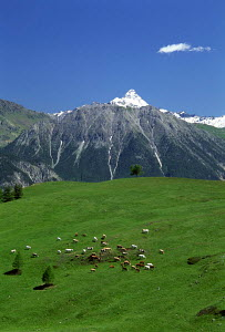 N-20904 Cattle grazing in alpine meadow with snow capped mountains in distance, the Alps, France.  -  Aflo