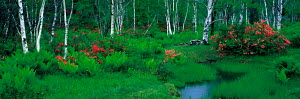 N-15002 Woodland landscape with Birch trees + Azaleas in flower, Nagano, Japan.  -  Aflo