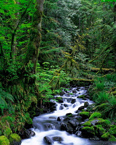 N-14103 River flowing through temperate rainforest, Olympic NP, Washington, USA  -  Aflo