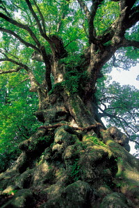 N-0507  of gnarled  trunk of Giant Camphor tree, Yakushima, Kagoshima, Japan. - Aflo