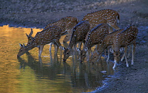 Herd of Chital deer at waterhole {Axis axis} Bandhavgarh NP, India - Francois Savigny