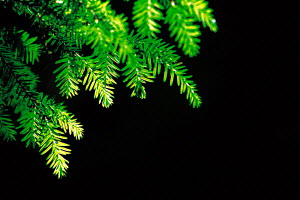 N-2105 Yew tree leaves {Taxus baccata} USA. - Aflo